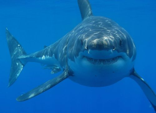 great-white-shark-picture