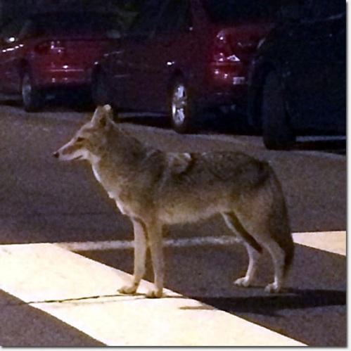 coyotecross-thumb-560x560