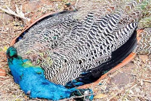peacock-dead630